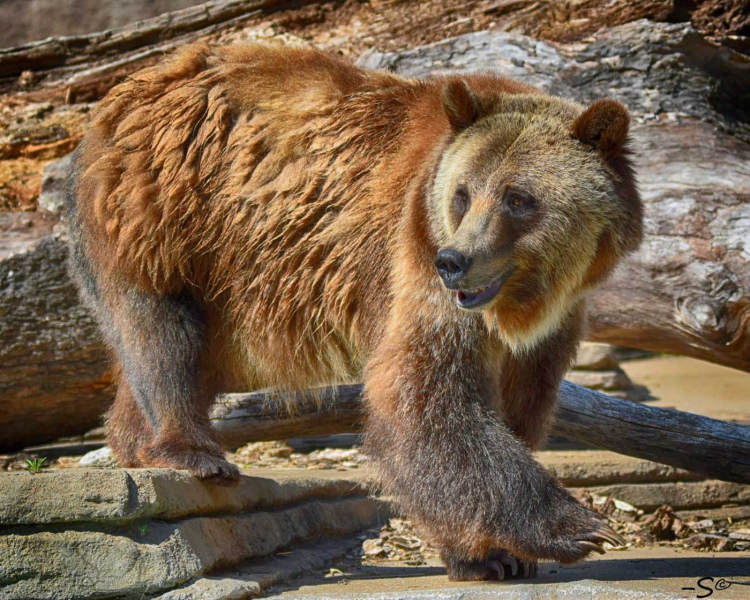 Akoiah Grizzly Bear