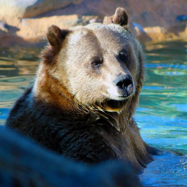 Grizzly-Bear